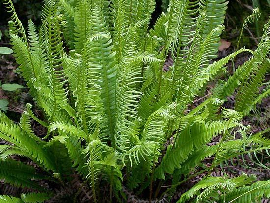 Blechnum spicant felci vivaio zanelli - Tipi di palma da giardino ...