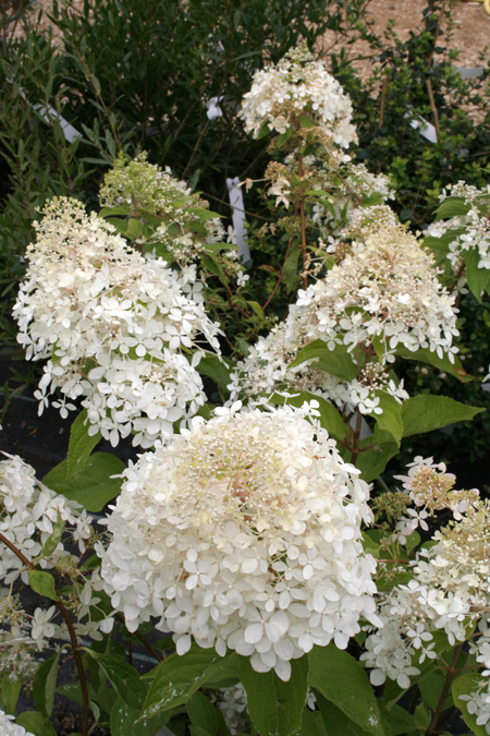 hydrangea paniculata phantom arbusti vivaio zanelli. Black Bedroom Furniture Sets. Home Design Ideas