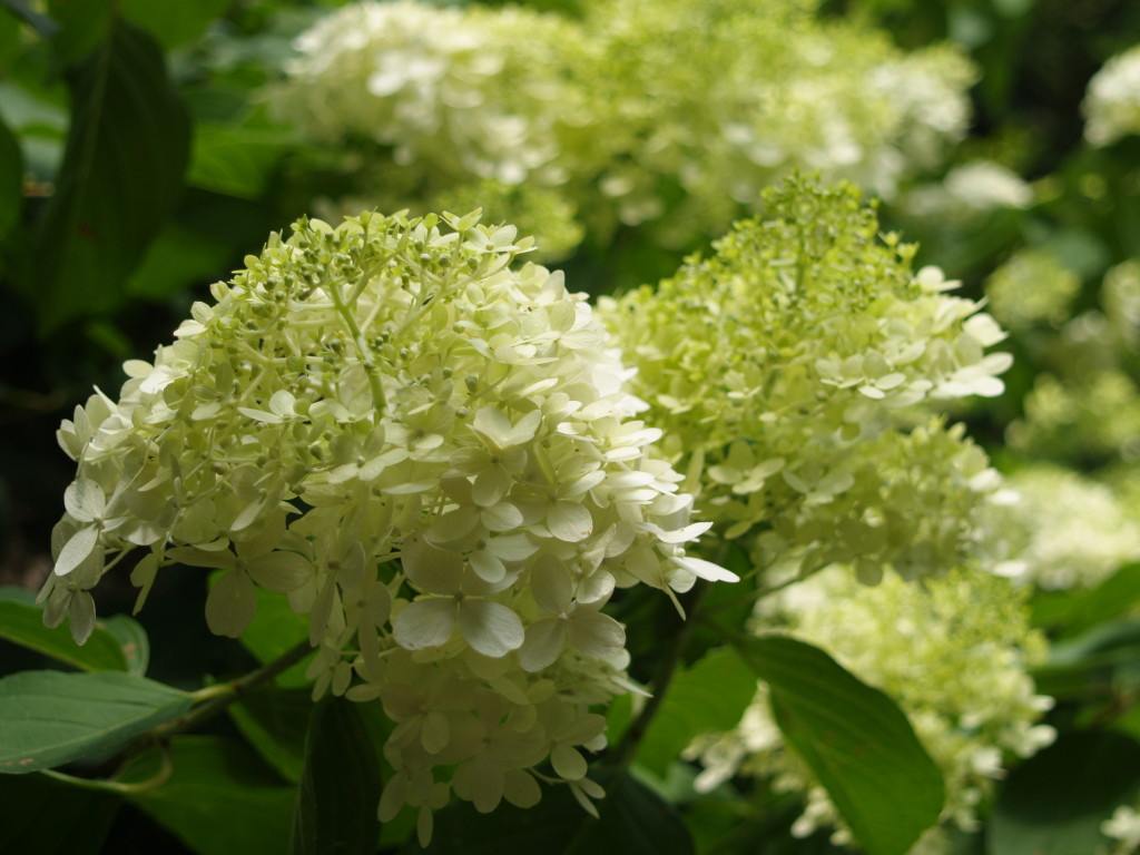 hydrangea paniculata limelight arbusti vivaio zanelli. Black Bedroom Furniture Sets. Home Design Ideas