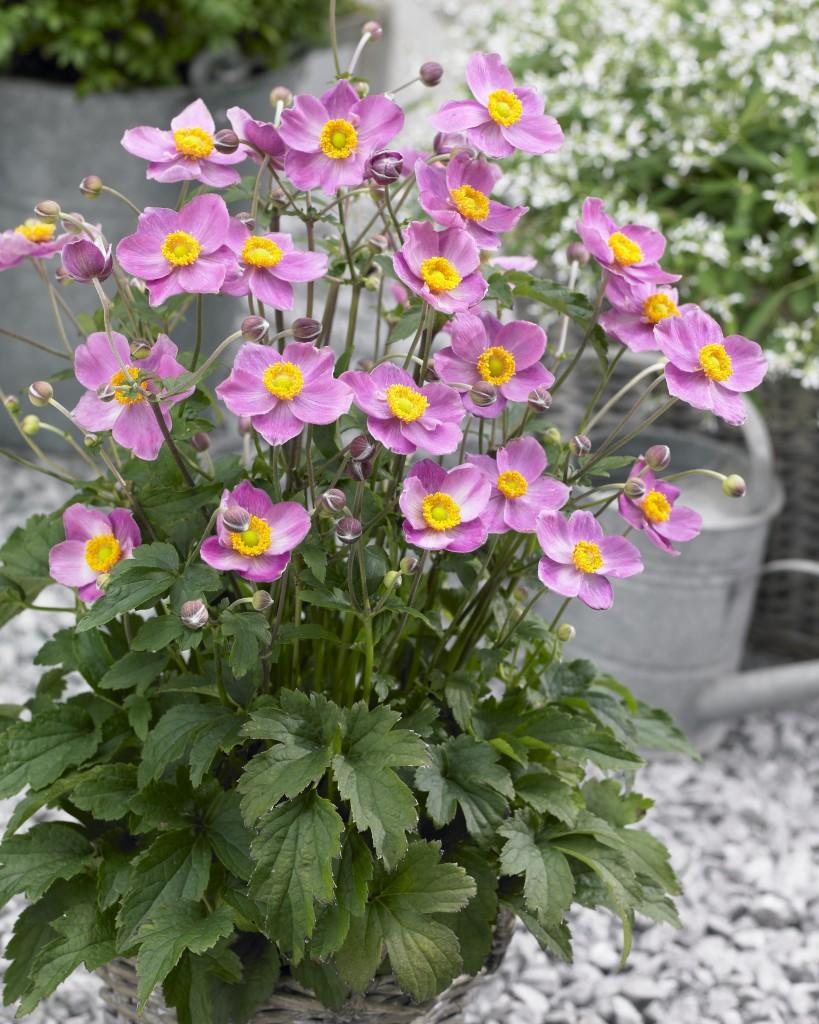 Anemone x hyb fantasy cinderella anemoni vivaio for Anemone giapponese